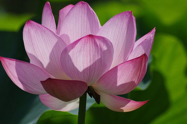 Lotus ~ Late Summer ~