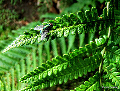 Fly on a Fern Leaf.