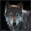 Down the Lens, Wolf Portrait