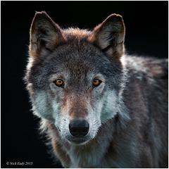 Down the Lens, Wolf Portrait