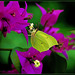 ~ This butterfly (citroenvlinder) stopped every day in summertime on the bougainvillea ~