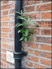 wall sapling