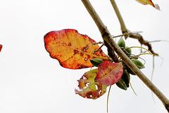 IMG 8551-feuilles de badamier