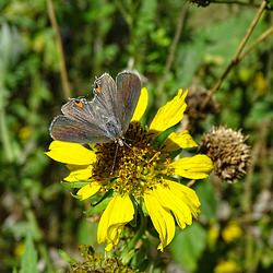 Grey Hairstreak (Strymon melinus)(f)