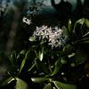 Dickblattblüte