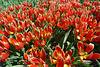 Nederland - Limmen, Hortus Bulborum/Duc van Tol tulpen