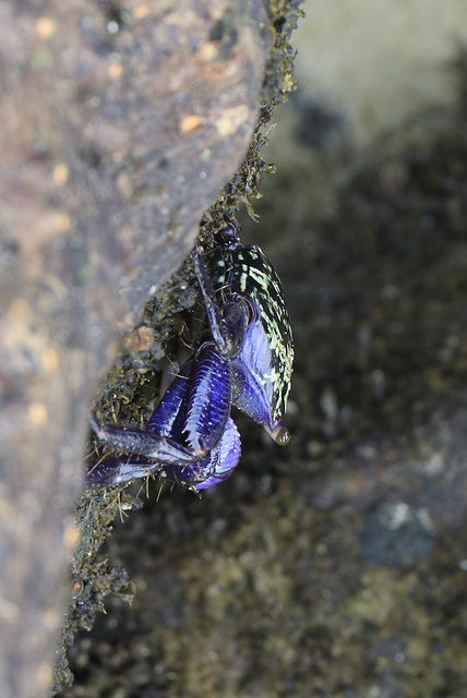 Purple Climber Crab
