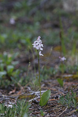 Small Round-leaf Orchid