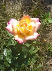 Rose in meinem Garten - rozo en mia ĝardeno