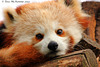 Red Panda Profile 031 copy