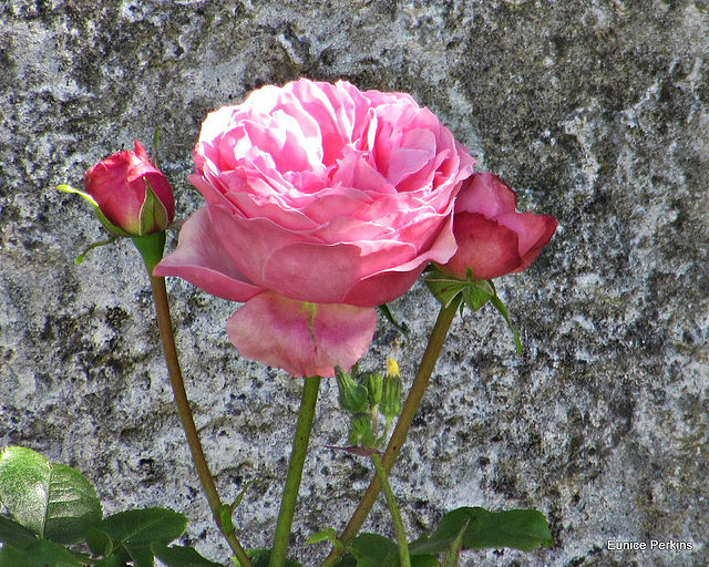 Rose and Buds.