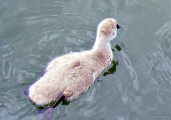 Small cygnet