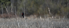 Blackbird on Cattails and Update!