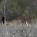 Blackbird on Cattails and Update!