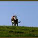 Kuh auf der Alpweide