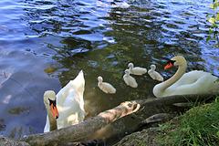 Schwanennachwuchs am Metelisweiher  (PIP)