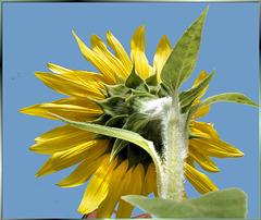 Sunflowers beautiful backside.  ©UdoSm