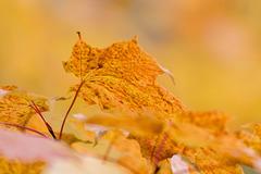 Canada - Québec - Parc de la Chute-Montmorency - Maple Leaves