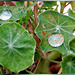 Blätter der Kapuzinerkresse. ©UdoSm