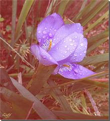 Iris algirica après la pluie ...