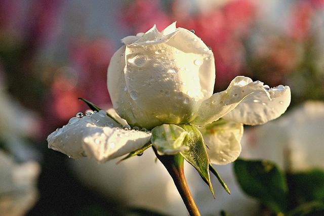 Regenperlen auf Rosenblätter