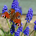 Peacock Butterfly on Grape Hyacinth (1)