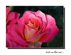 Une Rose ... sortie des tiroirs ...