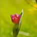 The Tulip under the Forsythia