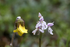 Small Round-leaf Orchid and Mountain Avens
