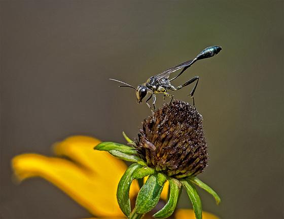 9055070dL Wasp