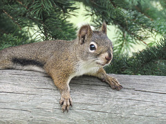 Jackie's squirrel - Red or Eastern Gray?