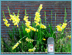 Gladiolus  (Lissen family)