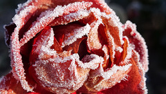 sugared rose