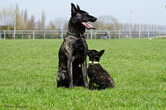 Eddy and SheRa, father and daughter (Dutch Shepherd)