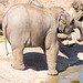 Baby elephant cooling down with a drink