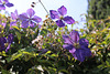 clematis and bramble