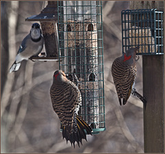 A pair of flickers and a jay