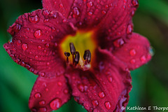 Day Lily and Rain Drops 2