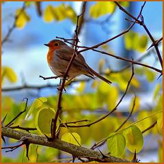 Bird - Erithacus rubecula - roodborst - European_robin - rotkehlchen - Rouge_gorge_familier