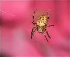 Araneus diadematus sur fond d'hortensia :)