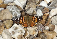 Painted Lady. 24.08.16 018