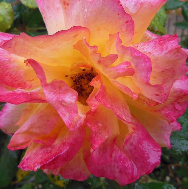 """Rose """"en sucre"""" / """"Candy sugar"""" rose"""
