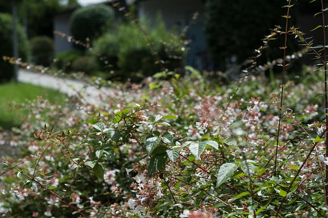 Abelia hedge