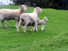 Tiny Lambs and Parents.