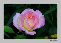 Rose du Matin ...
