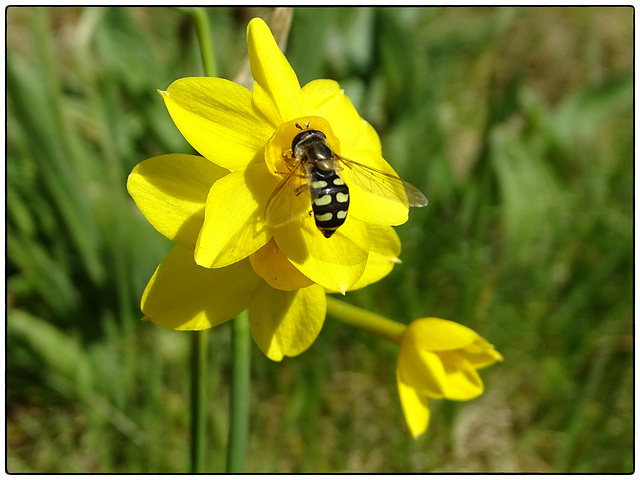 Narcissus jonquilla and hoverfly