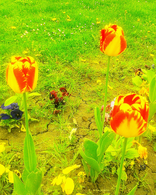 Tulips in the park