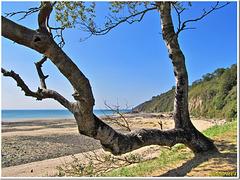 Le viel arbre devant la plage...