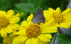Eastern Tailed-Blue (Everes comyntas)  on False Sunflower