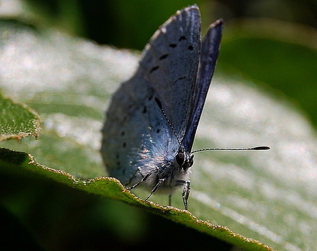 Tiny Holly Blue